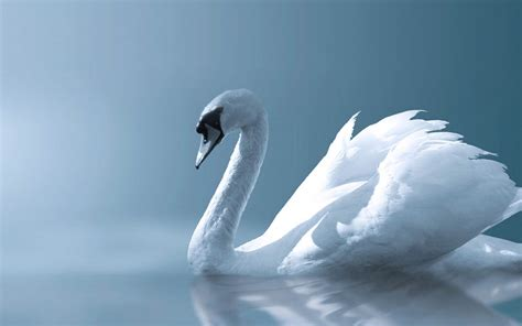 wallpaper free computer wallpapers swan wallpapers