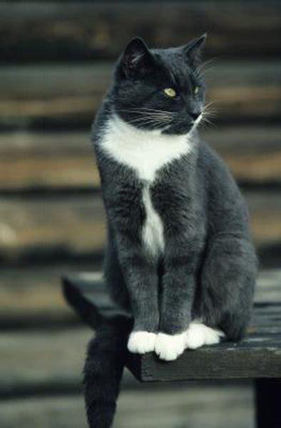 domestic shorthair cat enter  cat contest pets
