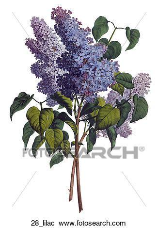 serenelle fiori galleria di illustrazioni anticaglia floreale
