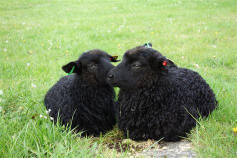 black sheep this or that black sheep dr jonice webb
