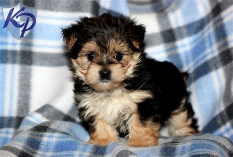 morkie puppies for sale indiana 1000 images about morkie puppies on morkie puppies for sale and fur
