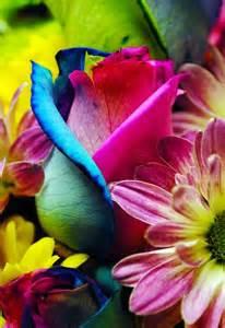 colorful roses beautiful rainbow