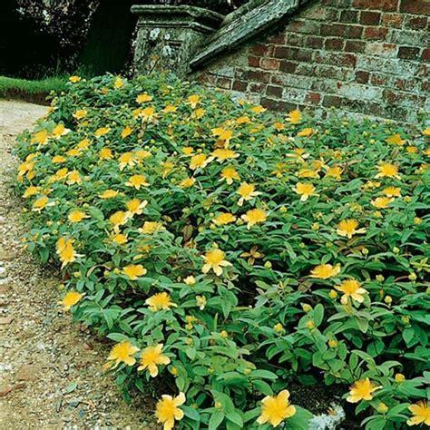 iperico fiore iperico piante perenni per bordure e rocciati meilland