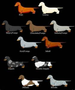dachshund colour chart dogs and animals