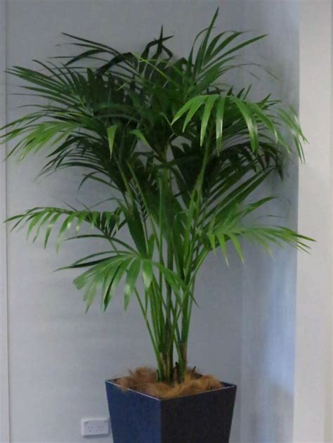 indoor palm image gallery of indoor plants jungles plant hire wanganui