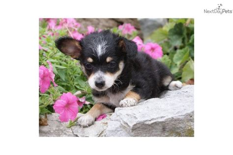 chipoo puppy meet a chi poo chipoo puppy for sale for 275 adorable www
