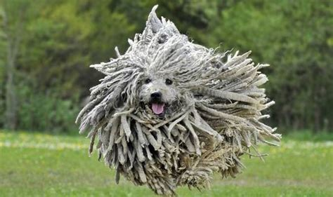 mop breed komondor breed has the appearance of a mop nature news express co uk