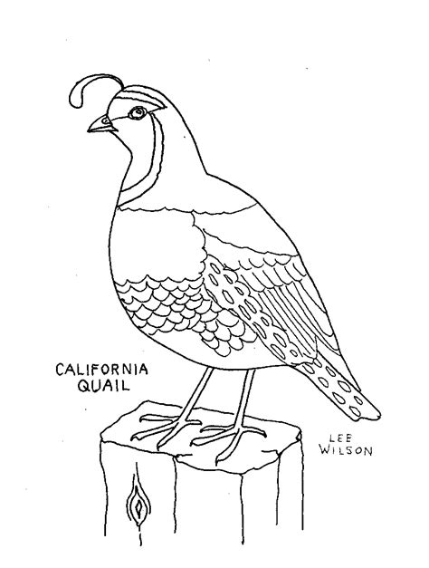 coloring pages for quail california quail coloring page