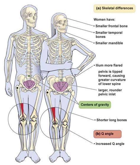 difference between and skeleton diagram anatomy difference between and human skeleton