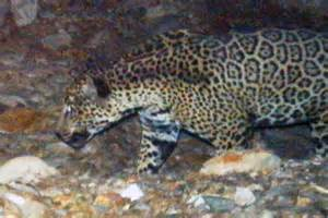 Jaguar Arizona Jaguar Sighting In Arizona S Santa Mountains