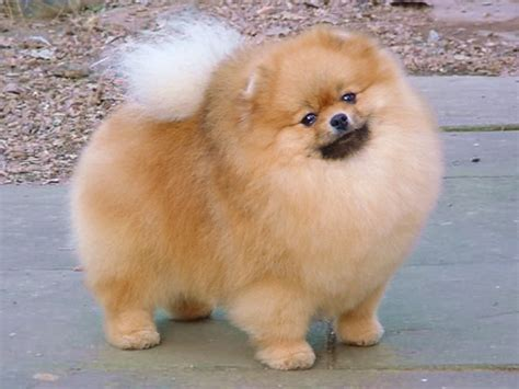 Pomeranian Shedding by Ultimate Obsession