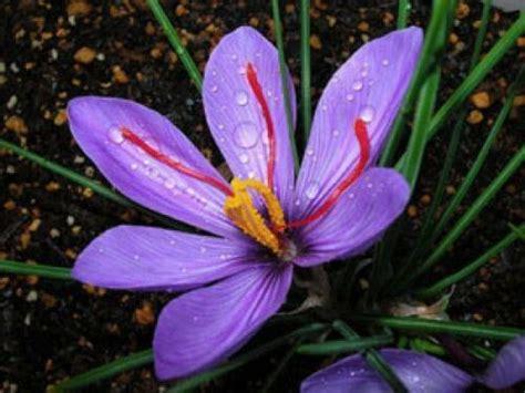 la flor del azafrn 1503953505 plantar azafran plantar bulbos de verano bulbos de azafrn plantar azafran el azafrn la rosa