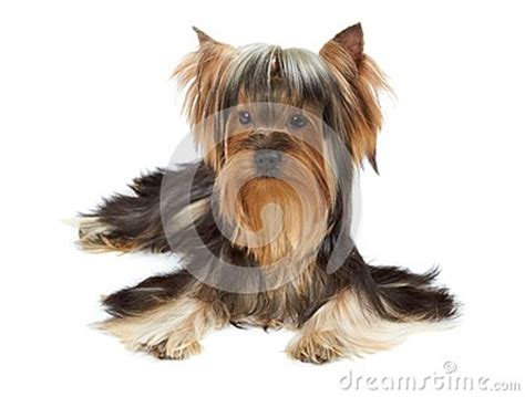 yorkie white hair yorkie with of hair stock photo image 46303997
