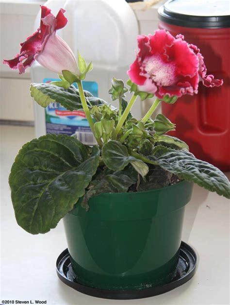 florist gloxinia seeds website of fasagigo
