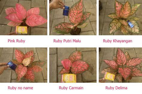 Ruby Aglonema aglaonema ruby serial ruby lokal