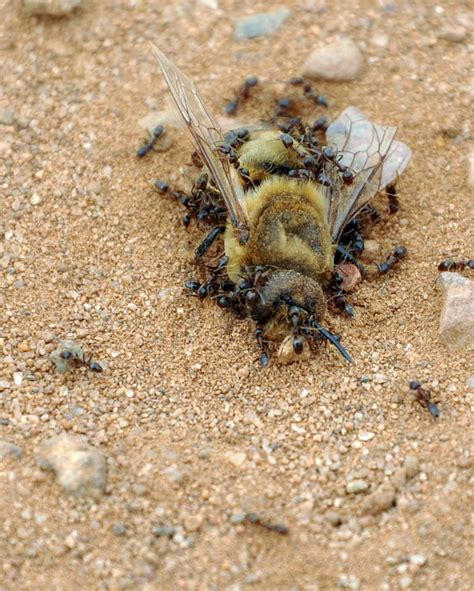 Wie Wird Ameisen Los 3756 by Ameisen In Kuche Ameisen Bekmpfen Ameisen Werden
