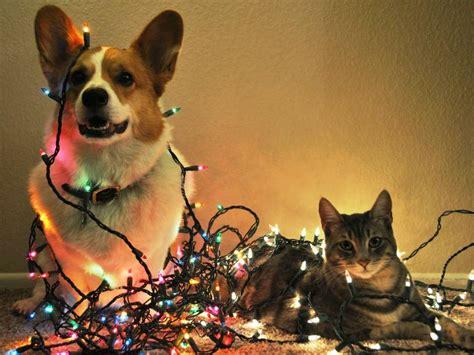 safe for christmas holiday pet safety 187 albuquerque vetco