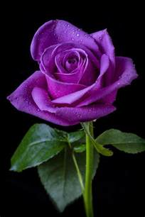 color roses 25 best ideas about purple roses on