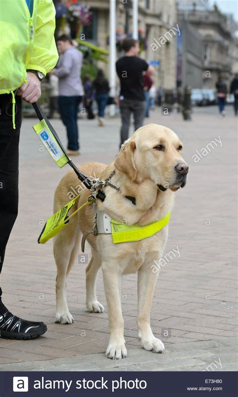 how to a guide for the blind guide dogs for the blind www imgkid the image kid has it