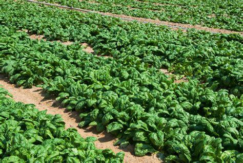 wann wird getreide geerntet spinat ernten spinat ernten darauf ist zu achten spinat