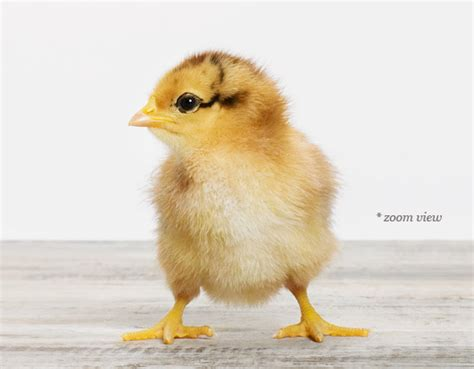 raising chickens 101 bring up baby chicks the old ba chick sharon montrose the animal print shop ba animal