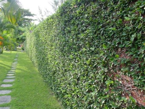 climbing fig plant creeping fig wall yard