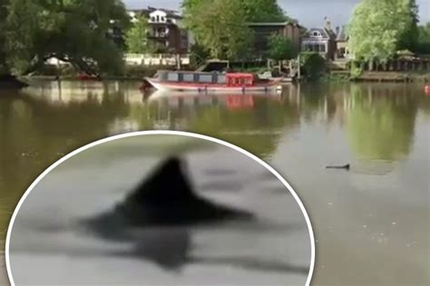 thames river dolphin shark in the thames mysterious creature spotted swimming