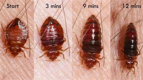 how long can bed bugs live without blood all about the bed bug life cycle