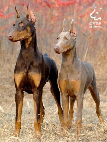 doberman colors doberman colors black and fawn dilute of black