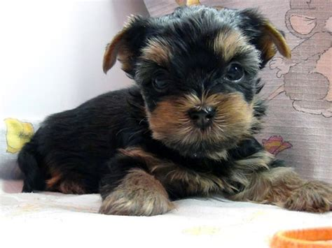 mini yorkie get a miniature yorkie home to and get