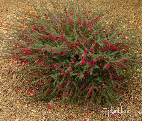 emu bush flowering for winter and bush