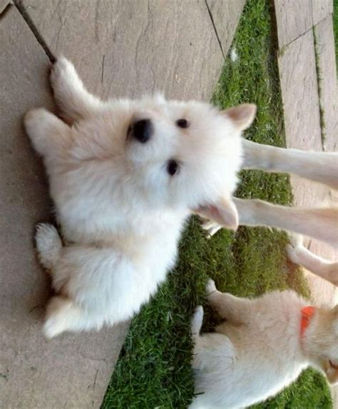 german shepherd puppies for sale in wi white german shepherd puppies wisconsin puppies puppy