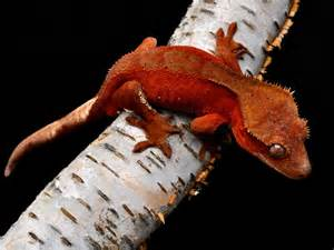 1000 images about crested gecko on pinterest crested