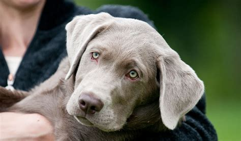 silver puppy which labrador colour is best