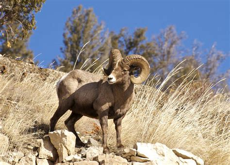 animals discovery bighorn sheep north america discovery
