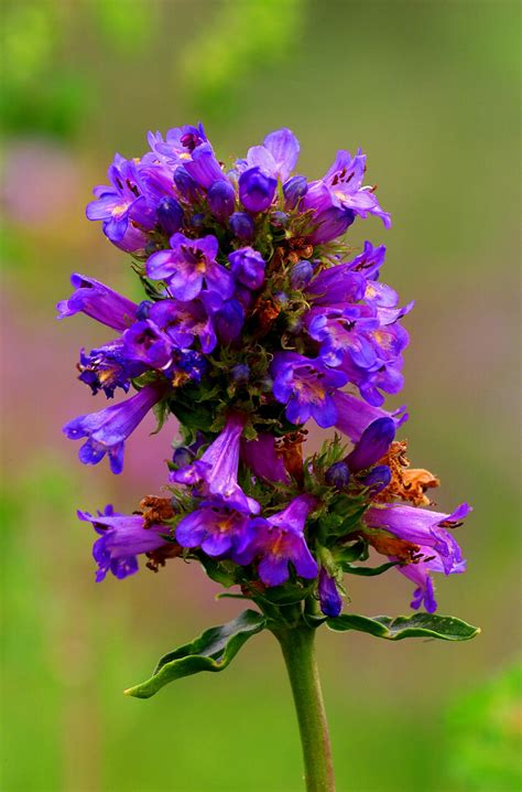 smart tips  prune penstemon plants  enhanced growth