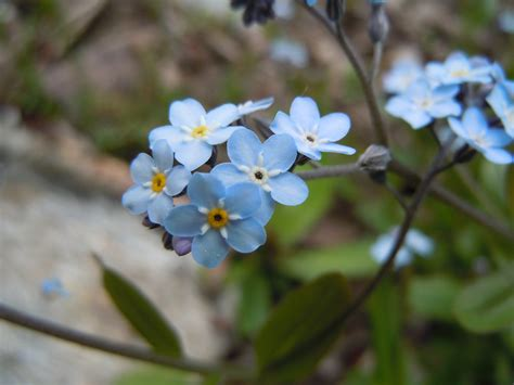 file romanian flora wild blue small flower 03 jpg