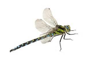 dragonflies pest control facts amp information pest
