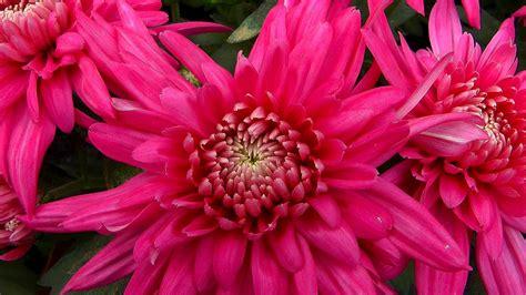 Chrysanthemen Vermehren by Chrysantheme Gartennatur