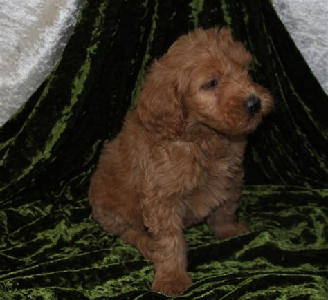 Goldendoodle Puppy Shedding by Non Shedding Goldendoodles Puppies For Sale Breeder Wi