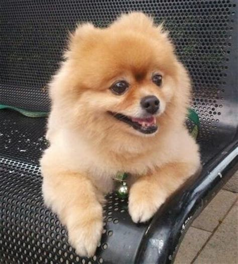 pomeranian wiki file pomeranian thank you jpg wikimedia commons