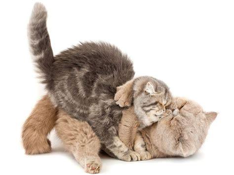 accoppiamento gatti persiani accoppiamento gatti persiani consanguinei trattamento