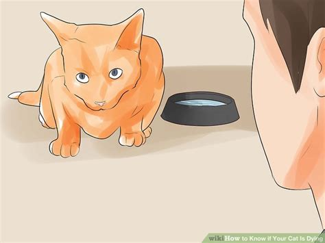 how to tell if your is dying how to if your cat is dying 15 steps with pictures