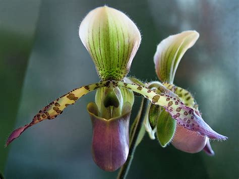 s slipper orchid s slipper orchid flickr photo