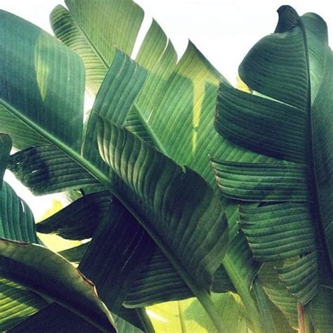 banana palm wallpaper tumblr 25 best ideas about tropical leaves on pinterest
