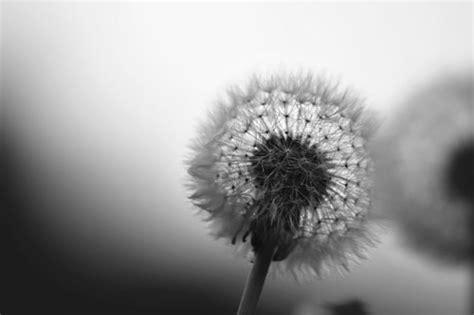 Bilder Schwarz Weiß by Tulpen