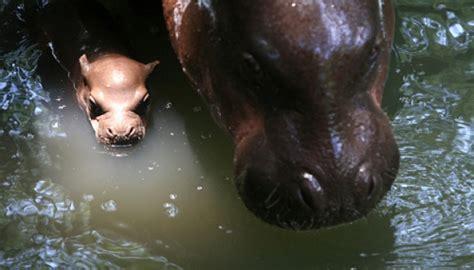 Sho Kuda Di Guardian ditelan kuda nil laki laki ini masih hidup 21546