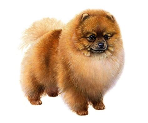 pomeranian average weight pomeranian wisdom panel