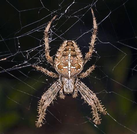 Garden Orb Spider Uk Bite 301 Moved Permanently