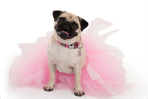 pug in a tutu breast cancer awareness month pretty in pink portraits designworks photography